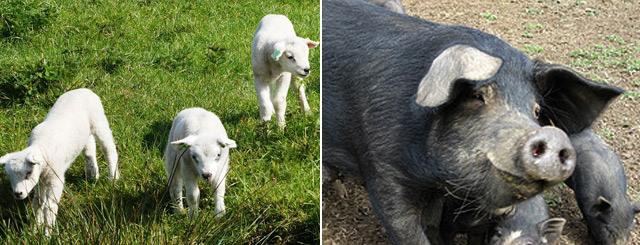 Agriculteurs du 54 Viandes Porcs en Lorraine