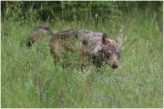 Conférence Vivre avec les loups dans le Grand Est à Nancy 54000 Nancy du 09-02-2019 à 14:30 au 09-02-2019 à 18:00