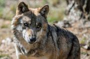 Le Loup en Lorraine vedette de l'Année 2020 ? Meurthe-et-Moselle, Vosges, Moselle, Meuse du 28-12-2019 à 10:00 au 28-06-2020 à 18:00