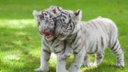 Naissance de 3 Bébés Tigres Blancs au Zoo d'Amnéville 57360 Amnéville du 14-04-2020 à 10:00 au 20-06-2020 à 19:00