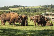 Safari Ranch des Bisons à Petit-Réderching 57410 Petit-Réderching du 01-07-2020 à 14:00 au 30-09-2020 à 18:00